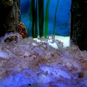 Georgia Aquarium Upside down Jelly Fish