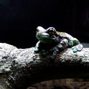 Georgia Aquarium Frog