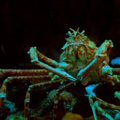 Georgia Aquarium Crab