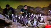Georgia Aquarium Penguins